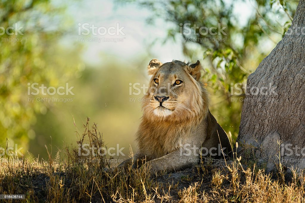 Young male lion lying next to termite mound stock photo