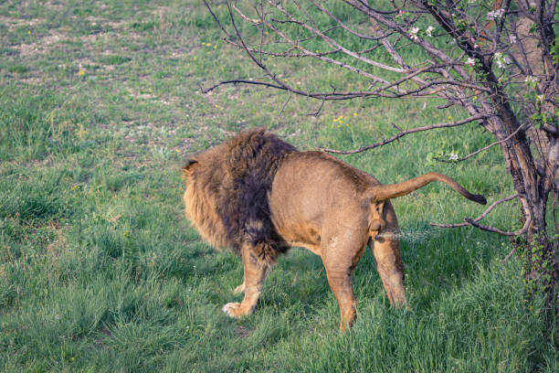 Young male lion marks territory by urination stock photo