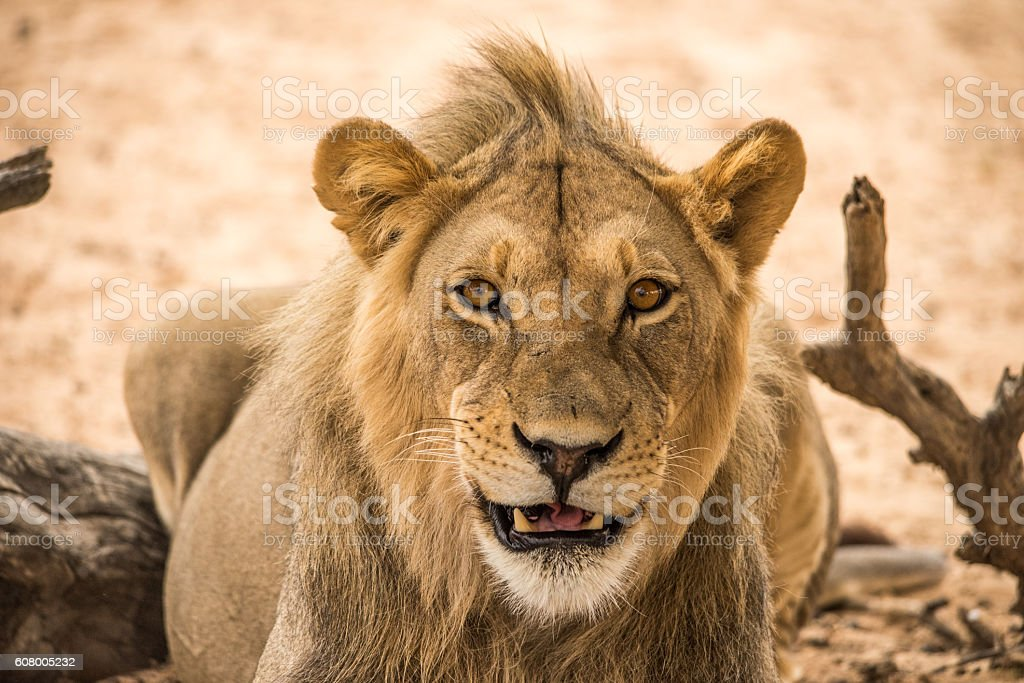 young male lion smiling looking directly ahead. stock photo
