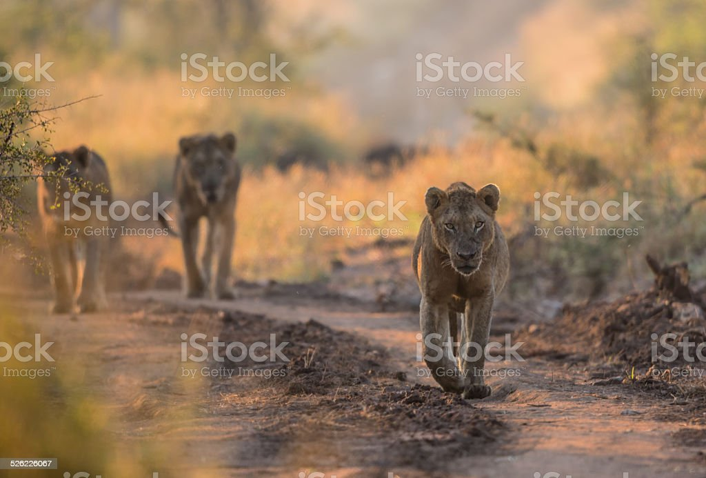 Young Male Lions in Kruger National Park stock photo