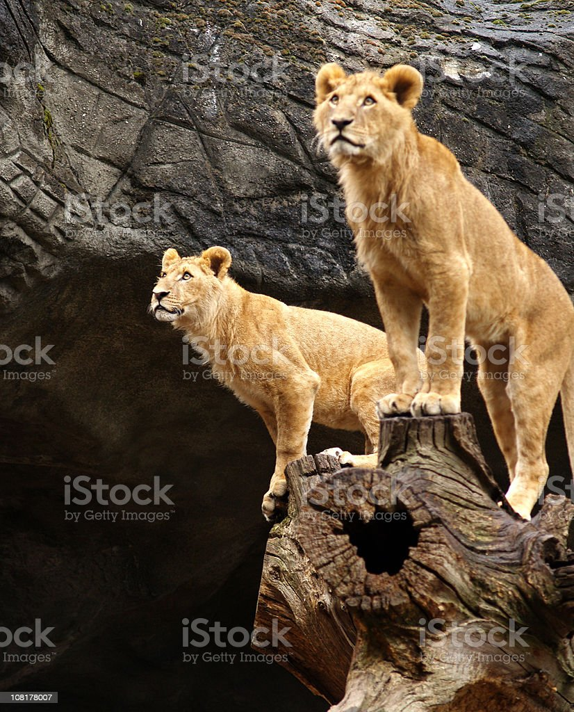 Young male lions.... royalty-free stock photo