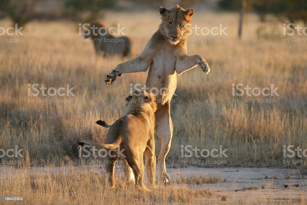 Young male lions playing, dark mane adult lion in background stock photo