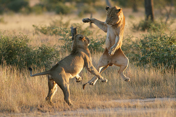 Young male lions playing with each other jumping into air picture id171116536?b=1&k=6&m=171116536&s=612x612&w=0&h=lhjrypvom707kuseiffunjpnmeonyyviyyhaci4rknc=