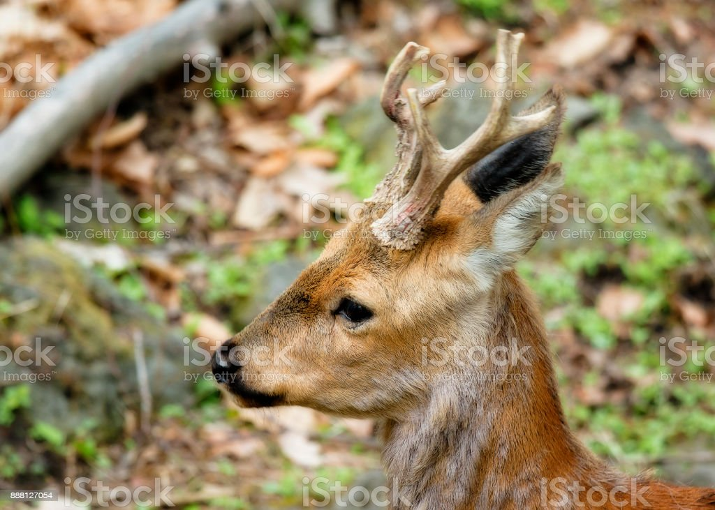 young male ROE deer stock photo