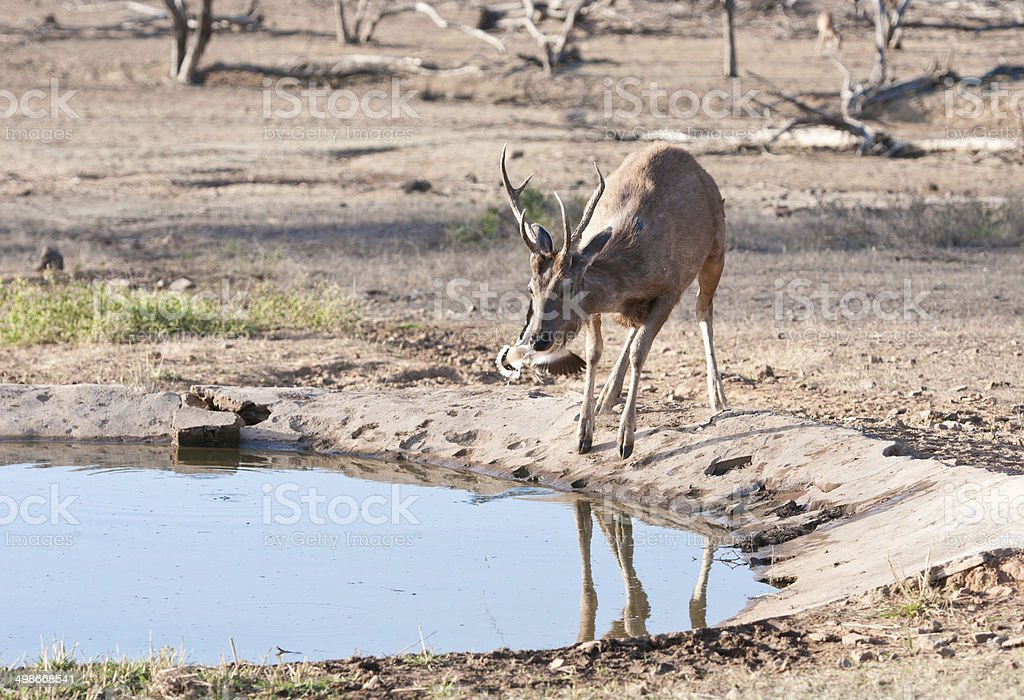 young male sambar deer drinking water on a standpost stock photo