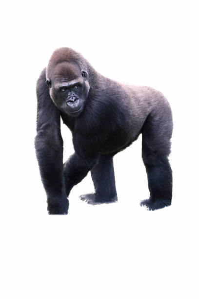 young male silverback gorilla walking on all fours. stock photo