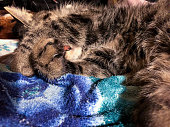 Cute young male gray tabby cat covers his eyes while sleeping on a blue and green blanket, close-up