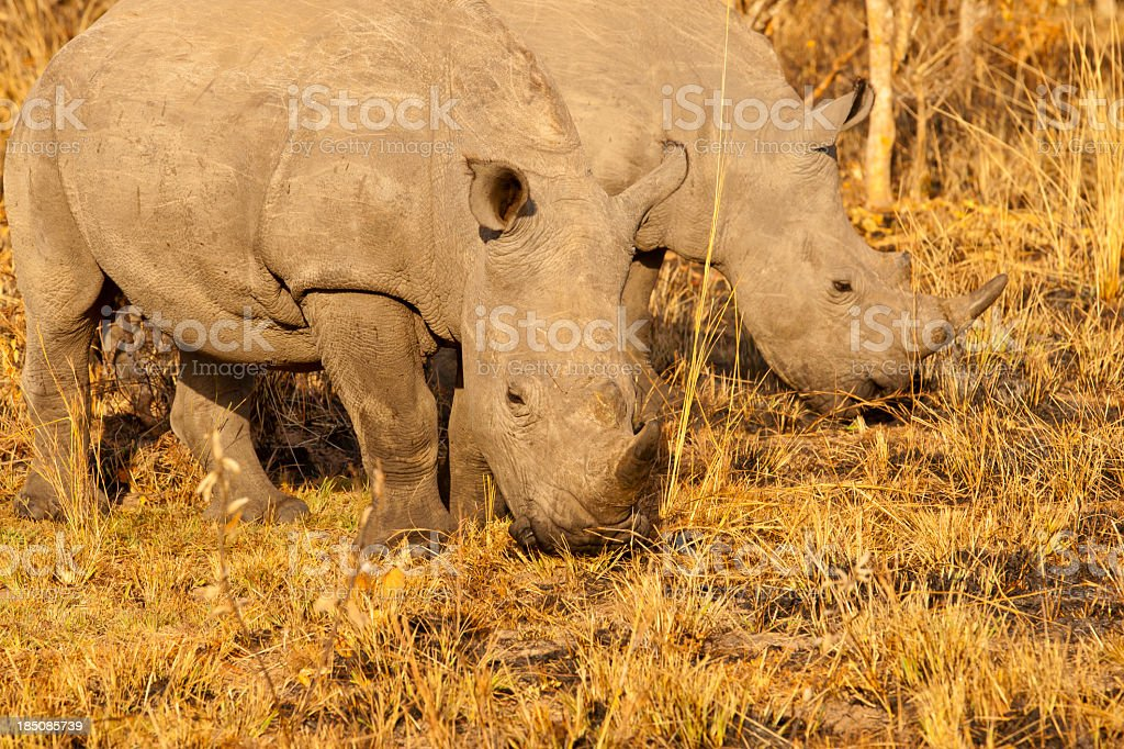 Young Male White Rhinos with yellow bushes stock photo
