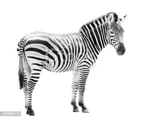 istock Young male zebra head isolated on white background 542566172
