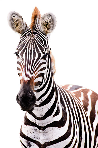 Young Male Zebra Isolated Stock Photo - Download Image Now ...
