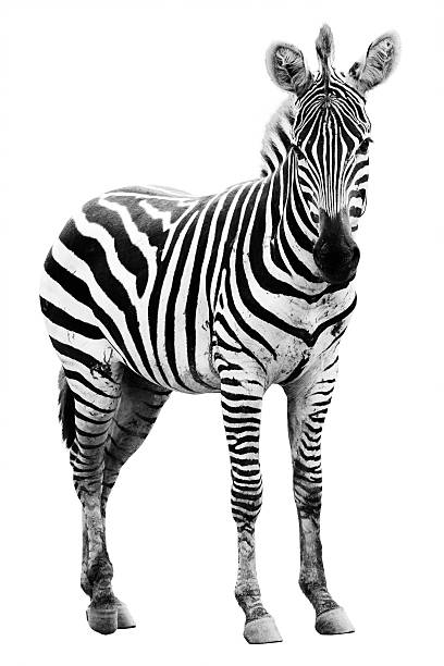 young male zebra - zebra stock photos and pictures