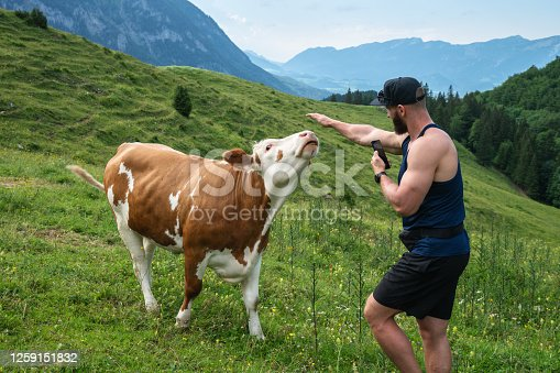 Young man with a cell  in hands trying to pet a cow in the alpine meadows near the town of Spital am Pyhrn, Upper Austria, Austria