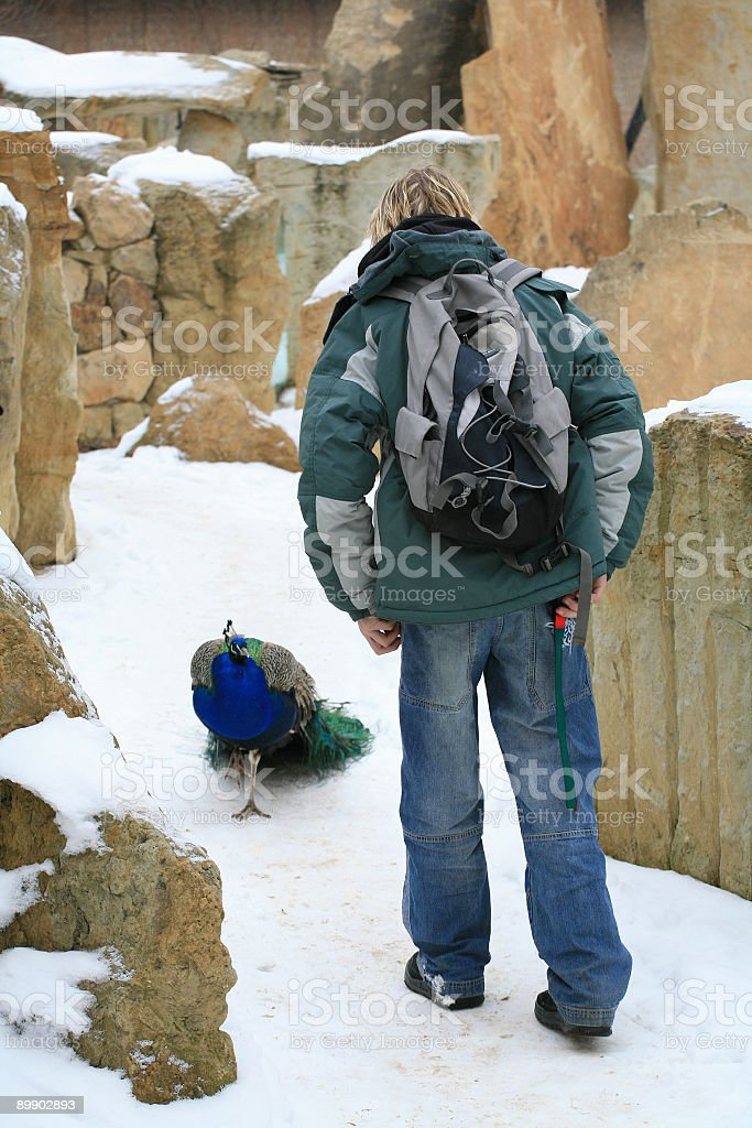 Young man and peacock royalty-free stock photo