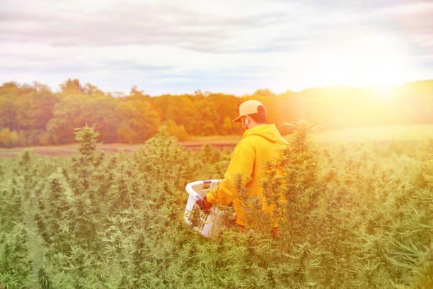 Junger Mann Bauer erntet Cannabis-Ernte – Foto