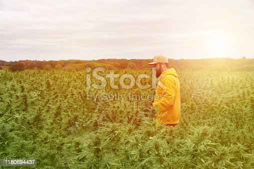 Young man farmer harvesting cannabis crop