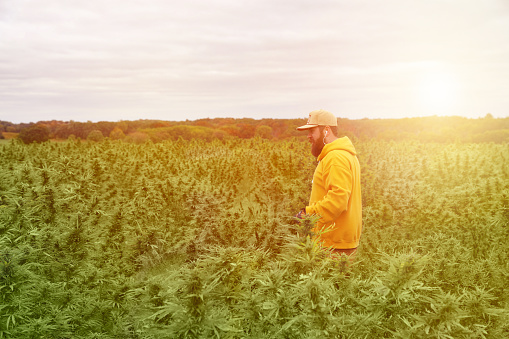 istock Young man farmer harvesting cannabis crop 1180694437