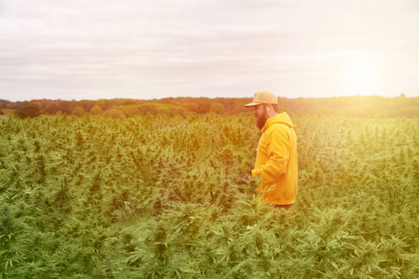 young man farmer harvesting cannabis crop - пенька стоковые фото и изображения