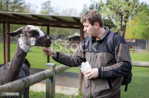 Young man feeding lama in zoo in summer