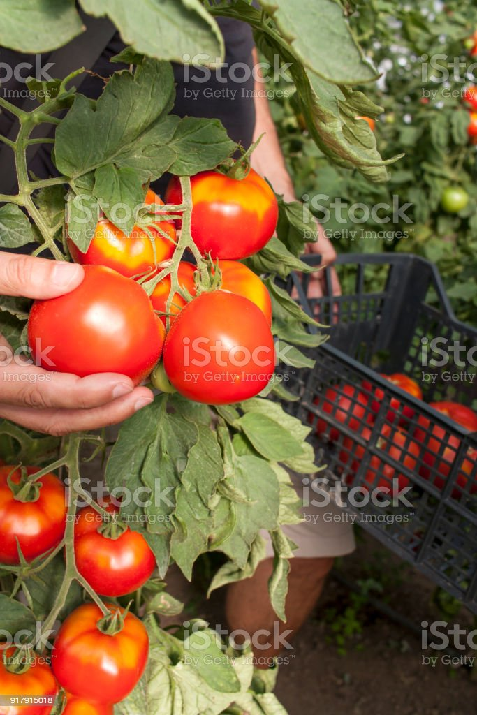 Young man gathering tomatoes in greenhouse stock photo