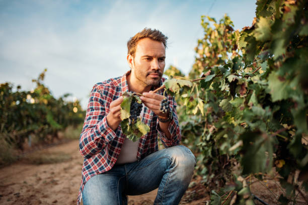 Young man grabbing a grape in a vineyard stock photo