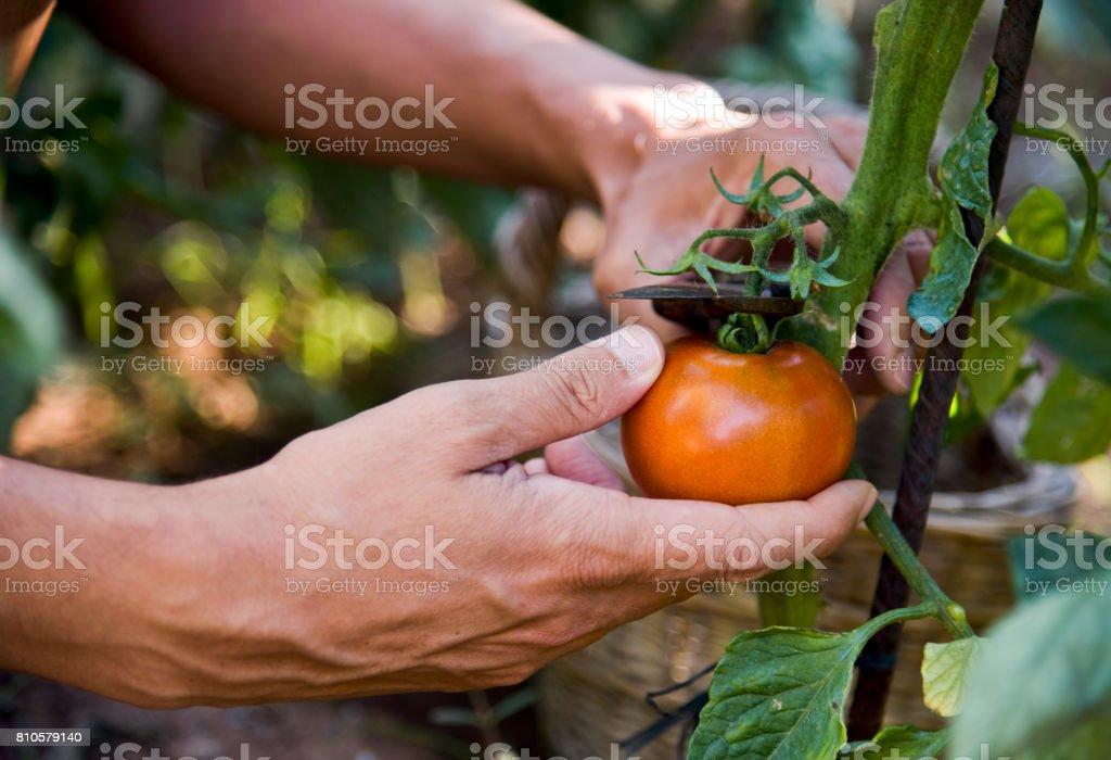 junger Mann Kommissionierung eine Tomate aus der Pflanze - Lizenzfrei Agrarbetrieb Stock-Foto