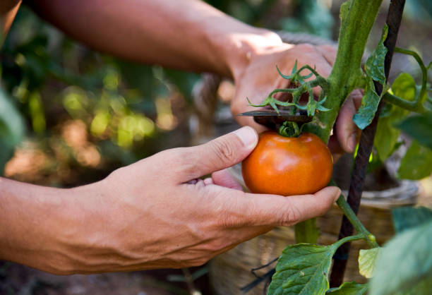 young man picking a tomato from the plant - tomato field stock photos and pictures