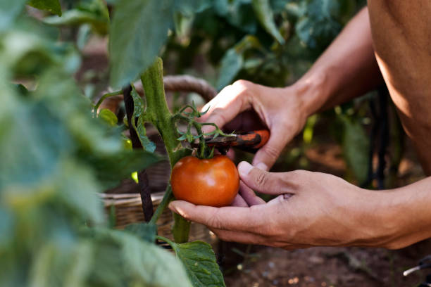 young man picking a tomato from the plant stock photo