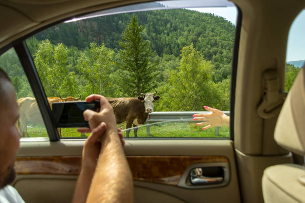 A young man pulling two hairy hands into the open window of a moving car holds a smartphone taking a photo of the cows in the Altai with blue clear sky on an autumnal summer day during a journey stock photo