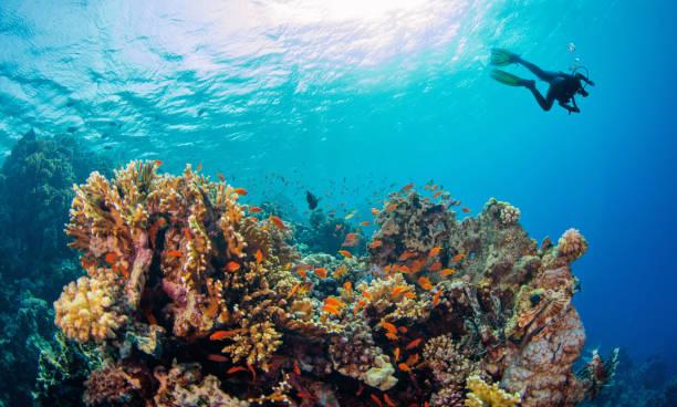 산호 암초를 탐험 하는 젊은 남자 스쿠버 다이 버. - 세이셸 뉴스 사진 이미지