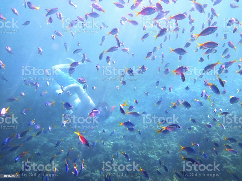 Young man snorkeling among coral fishes royalty-free stock photo