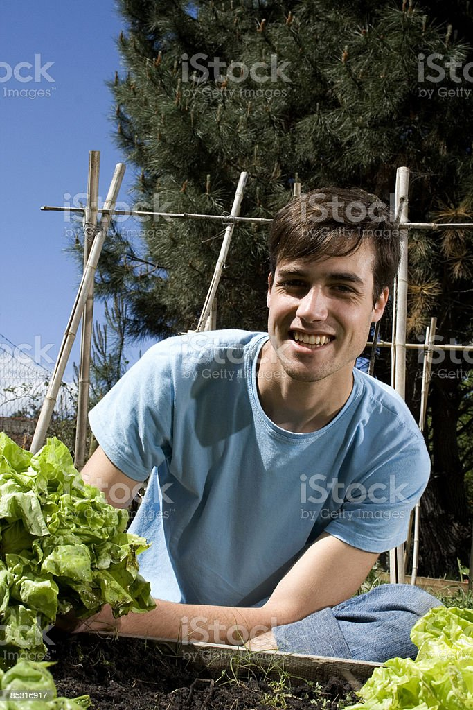 Young man tending to his lettuce patch. royalty-free stock photo
