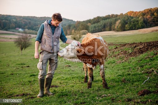 istock Young man touching cow at field 1297005327