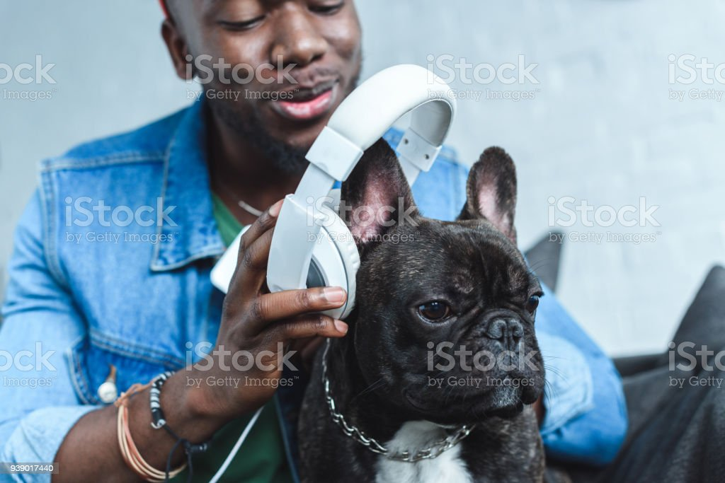 Young man wearing headphones on French bulldog stock photo