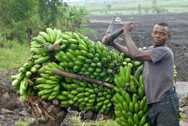 young man with a heavy load of bananas, eastern congo - democratic republic of the congo stock photos and pictures