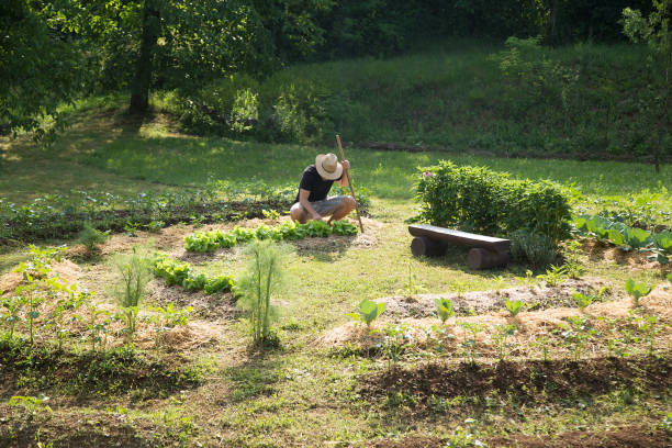 Young man Working in a Home Grown Vegetable Garden stock photo