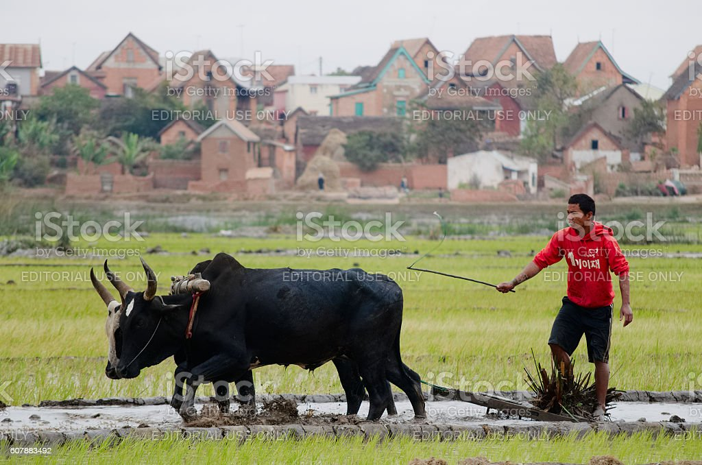 young man working in the paddyfield with zebu in Madagascar - Photo
