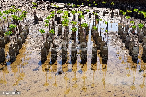 Young mangrove trees for reforestation at the shore in Sattahip, Chonburi, Thailand.