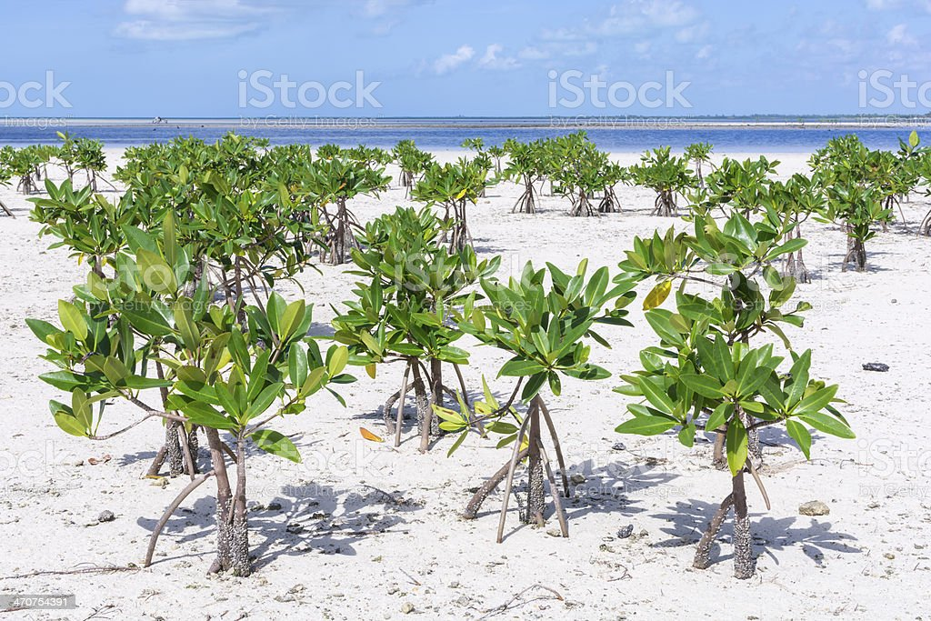 Young mangroves on beach royalty-free stock photo