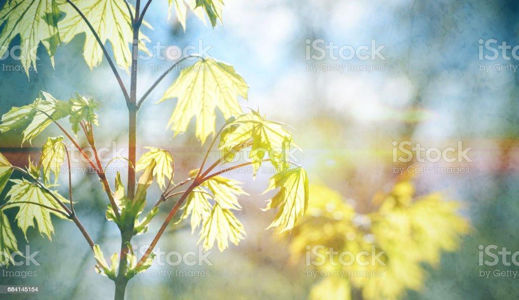 Een jonge esdoornblad. Herfst bos in het zonlicht. Lente seizoensgebonden achtergrond royalty free stockfoto