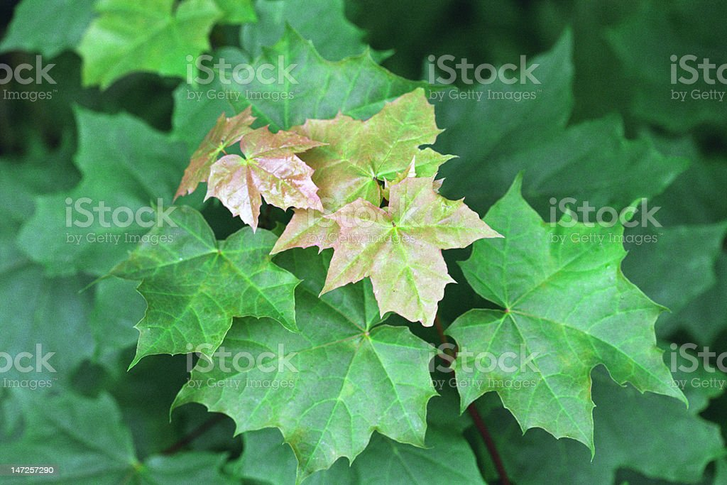 Young maple leaves royalty-free stock photo