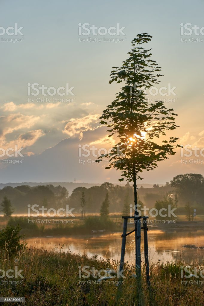 Young maple tree while sunrise in the foggy nature. Vivid colors with dramatic clouds. Wilhelminenaue, Bayreuth, Germany. Vertical. stock photo