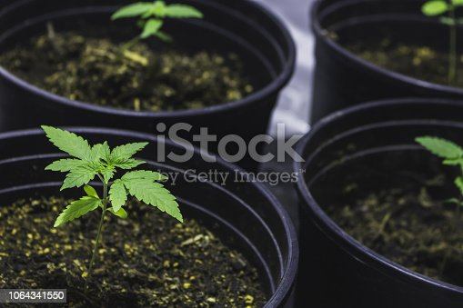 Marijuana plants in beginning vegetative stage up close, growing in tent.