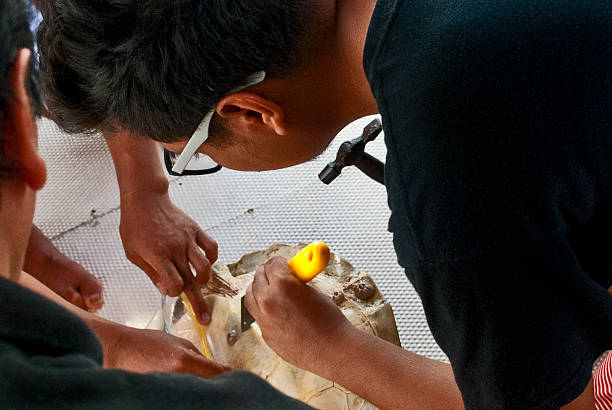 Young marine biology student chipping barnacles off a turtle stock photo