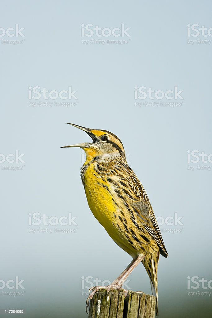 Young Meadowlark calling from a fence post stock photo