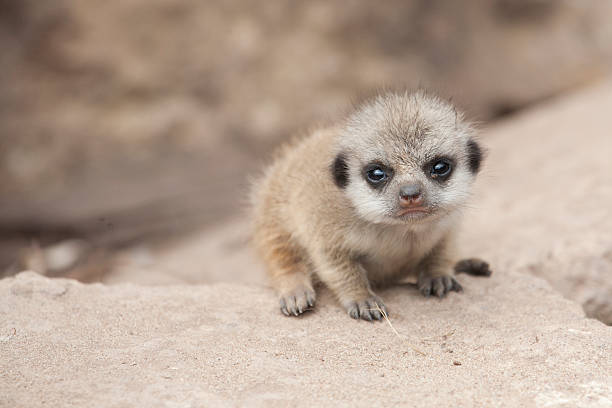Young meerkat sitting on rock looking at camera stock photo