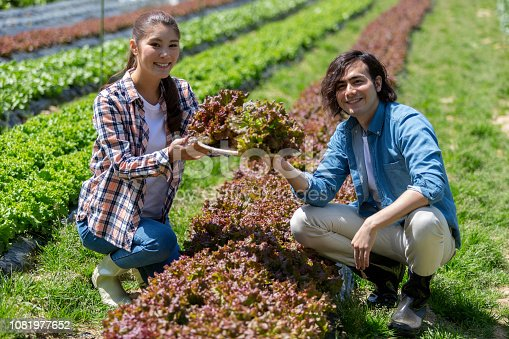 istock Young men and women harvesting sunny lettuce 1081977652