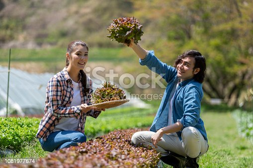 istock Young men and women harvesting sunny lettuce 1081977674
