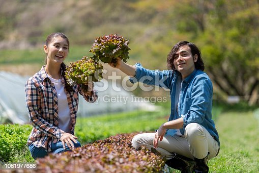 istock Young men and women harvesting sunny lettuce 1081977686