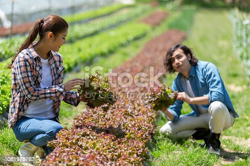 istock Young men and women harvesting sunny lettuce 1081978762