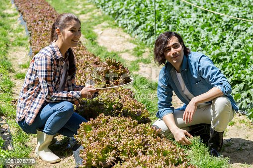 istock Young men and women harvesting sunny lettuce 1081978778